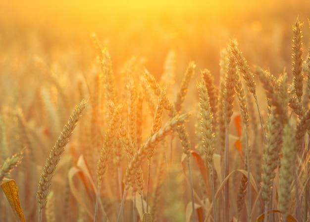 Поле спелой пшеницы на красочном закате. сельский пейзаж. задний план