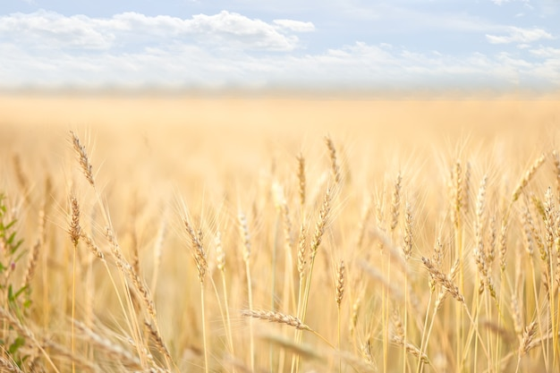 Поле созревающей пшеницы. концепция сельскохозяйственного урожая.