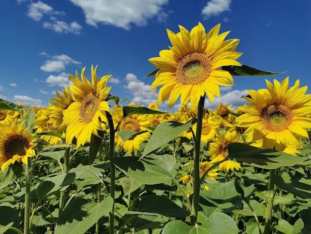 Поле подсолнухов в ясный солнечный день летом. сельскохозяйственное растение, на котором производят подсолнечное масло и другие полезные продукты.