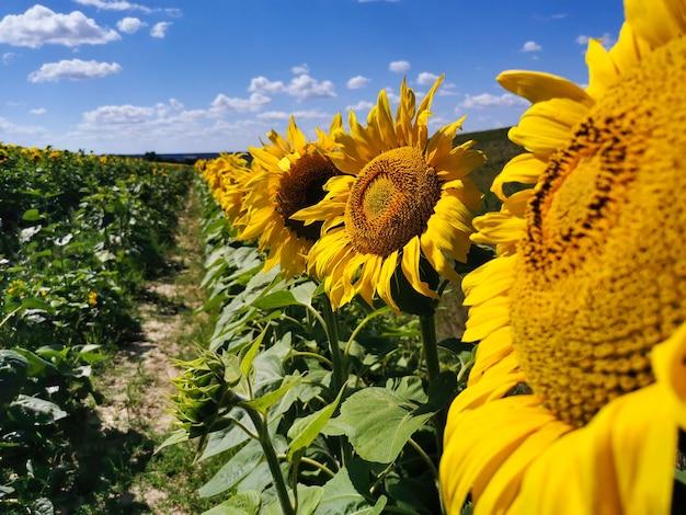 여름에 맑고 화창한 날에 해바라기의 필드입니다. 해바라기 씨 오일 및 기타 유용한 제품을 생산하는 데 사용되는 농업용 식물