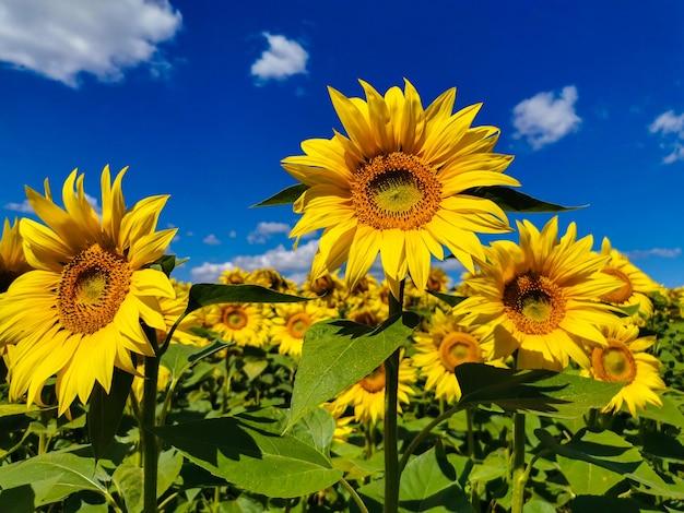 晴れた晴れた日のひまわり畑