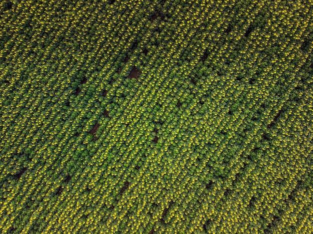 ひまわり畑。ひまわりの収穫