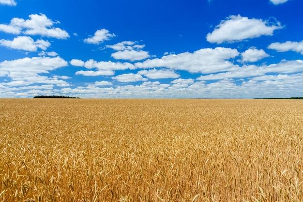 Поле спелой желтой пшеницы под голубым небом и облаками