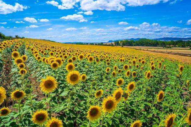 Поле тысяч подсолнухов летом открыто, глядя на солнце