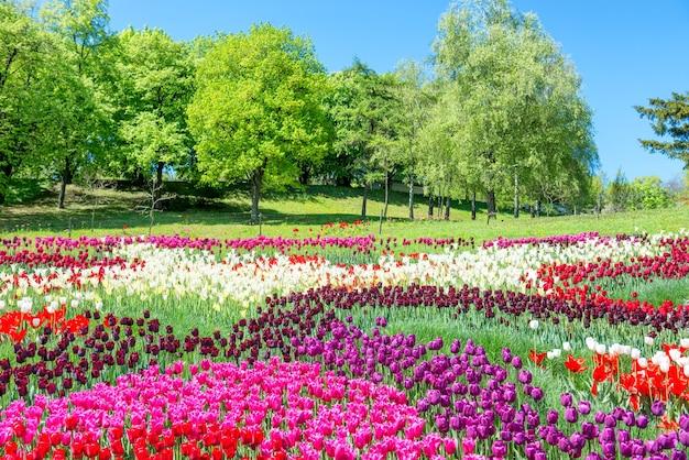 녹색 공원에 많은 화려한 꽃이 있는 튤립 들판