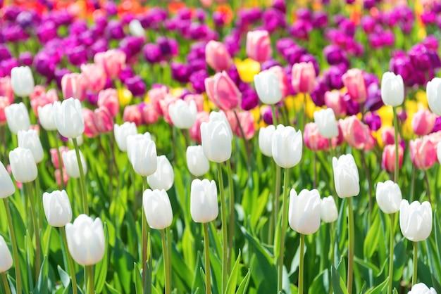 色とりどりの花がたくさん咲くチューリップ畑