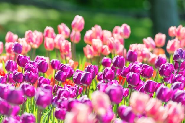 紫とピンクの花がたくさん咲くチューリップ畑