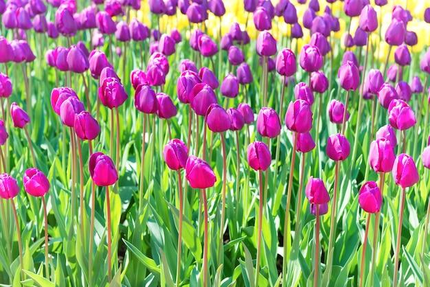 紫と黄色の花がたくさん咲くチューリップ畑