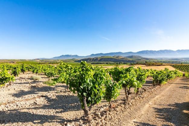 Поле виноградников, созревающих на солнце в ла-риохе. испания
