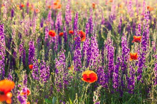 Поле фиолетовой лаванды и красных цветов мака