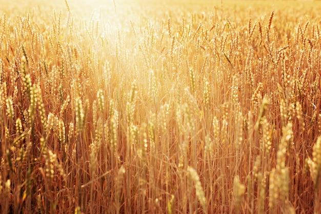 Поле пшеницы осенью, концепция богатого урожая