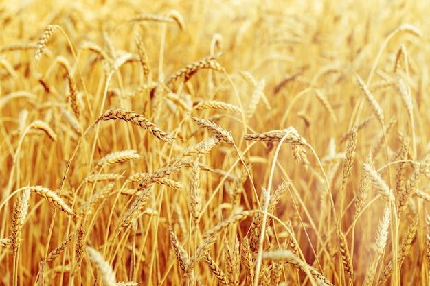 秋の小麦畑田園風景畑の熟した小麦日光の下での穀物作物