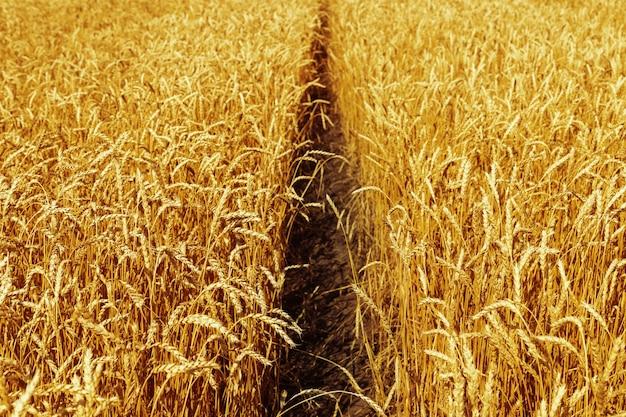 秋の小麦畑田園風景畑の熟した小麦豊作のコンセプト