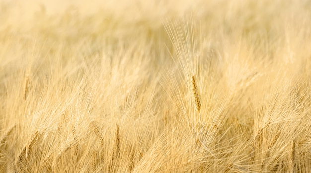 긴 퍼지 수염을 가진 밀 근접 촬영의 필드입니다. 선택적 초점, 자연스러운 패턴