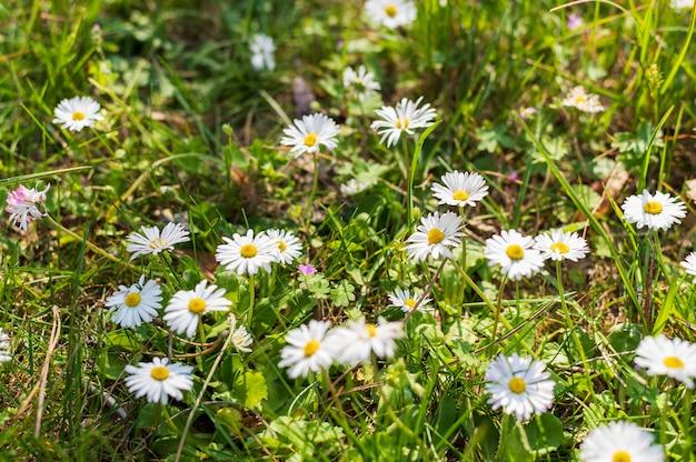 白いデイジーの花のフィールド