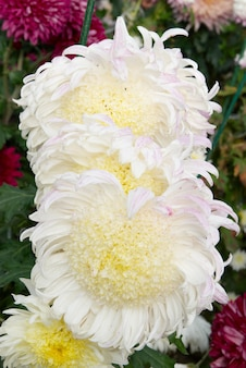 白黄色の菊の畑