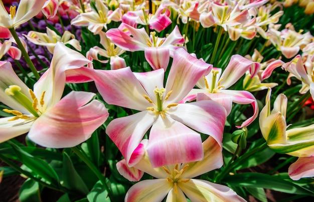 野生の花のフィールド。春の風景。オランダ