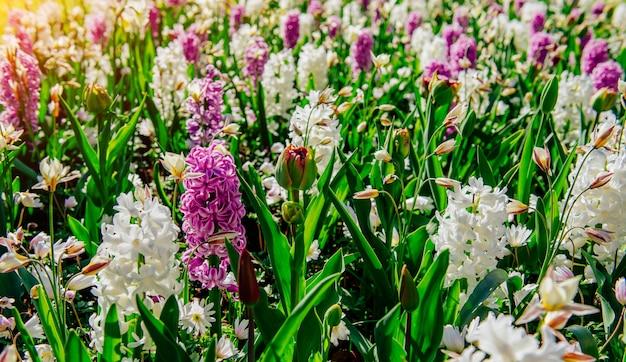 野生の花のフィールド。春の風景です。オランダ