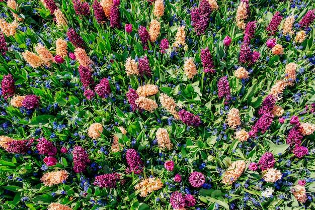 野生の花のフィールド。春の風景です。キューケンホフフラワーパーク。
