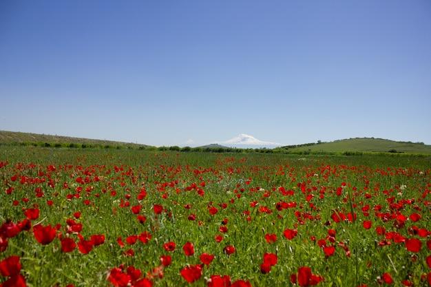 野生のチューリップ畑とアララト山