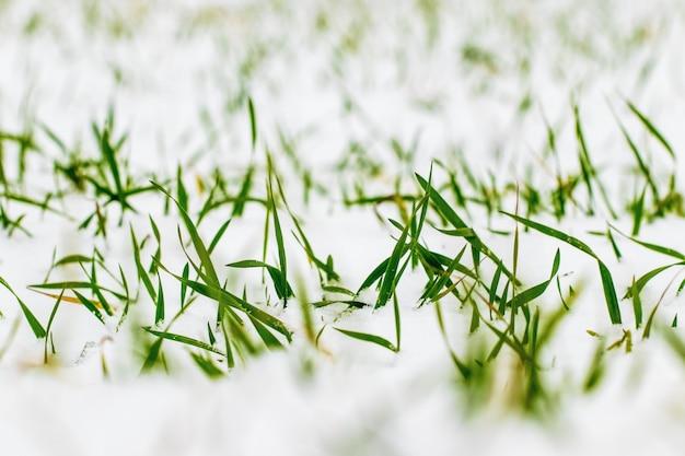 Поле озимой пшеницы под снегом