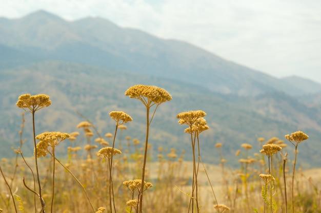 산과 하늘 배경에 톱풀 꽃의 필드. 중앙아시아의 자연