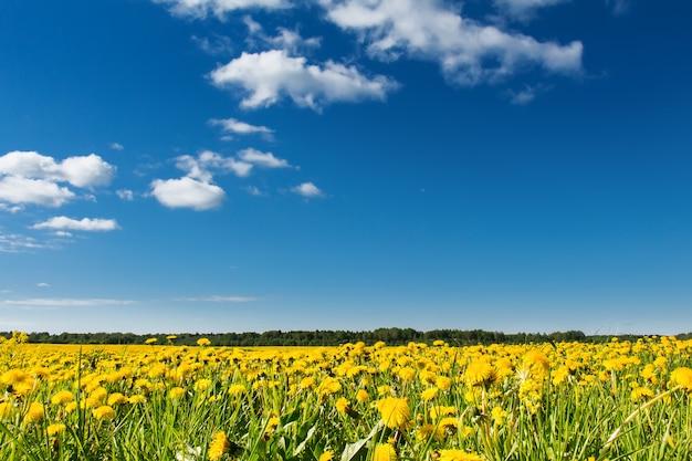 Поле желтых одуванчиков против голубого неба.