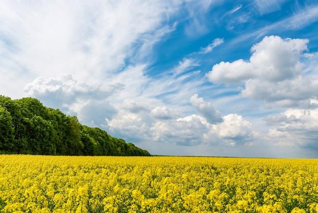 푸른 하늘을 배경으로 노란 유채 밭
