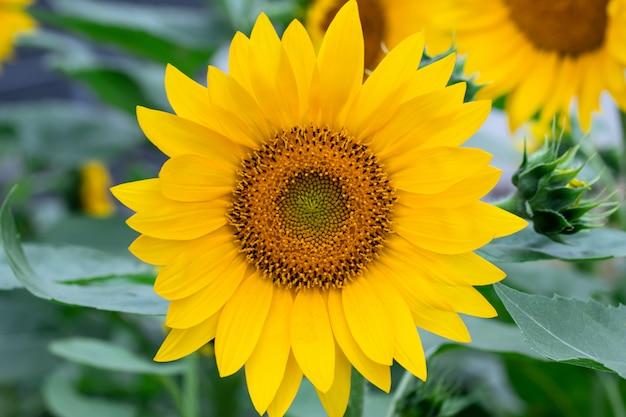 黄色いヒマワリ、夏の花のフィールドです。自然の壁紙、花の背景、緑の葉。