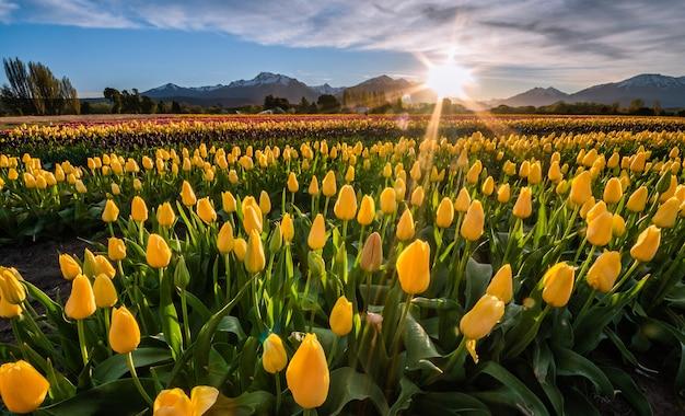 日没時の黄色のチューリップのフィールド