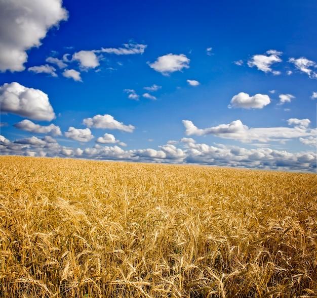 Поле желтой пшеницы и облака в небе