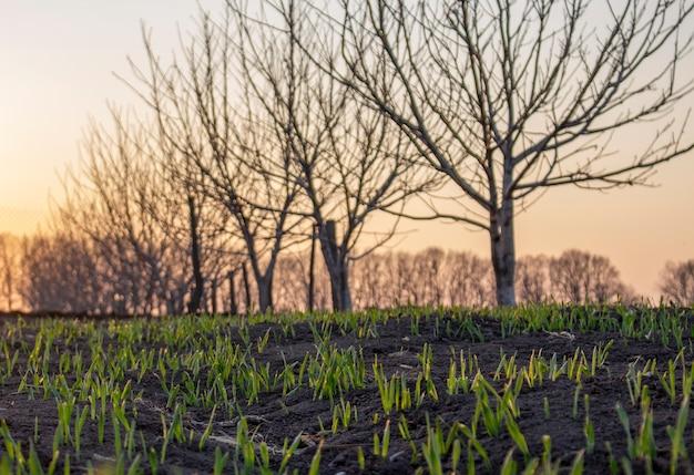木々と日没に対して若い発芽小麦のフィールド。