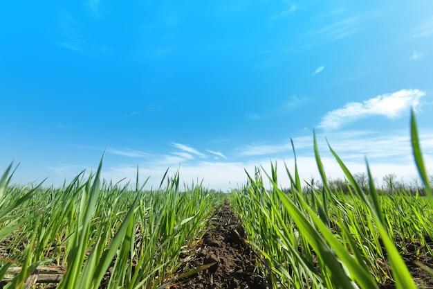 若い小麦/若い小麦もやし農業の分野