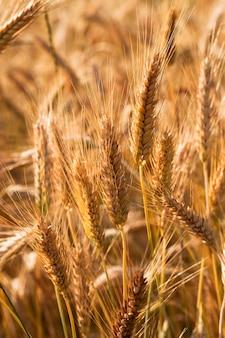 Поле, на котором выращивают зерно во время уборки урожая.