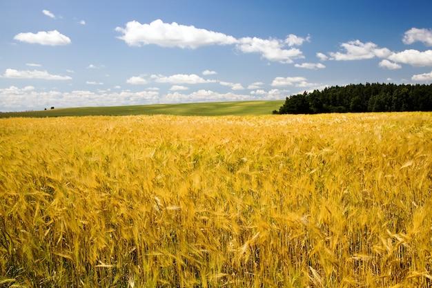 収穫会社で穀物を育てる畑