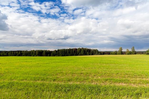 緑の未熟麦草が育つ畑