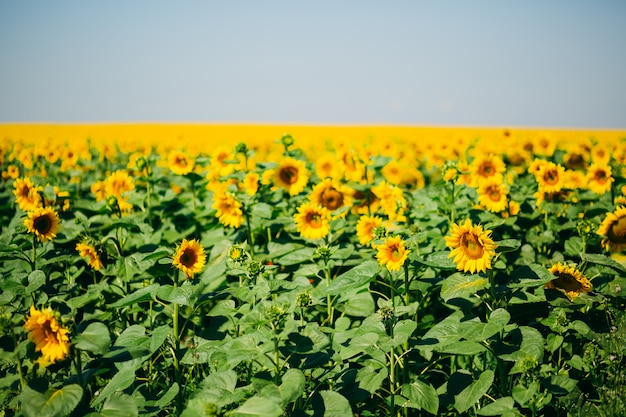 Field packed with beautiful yellow sunflowers