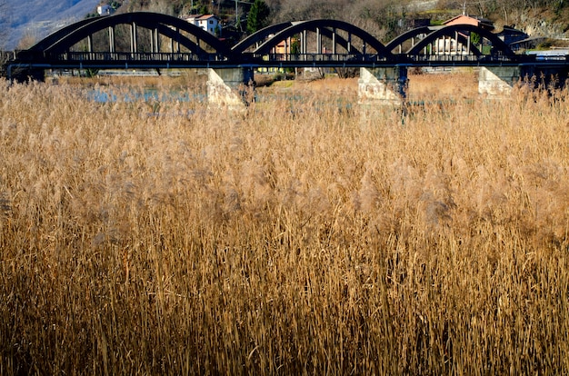 Field of pampas grass and a bridge in piedmont, italy