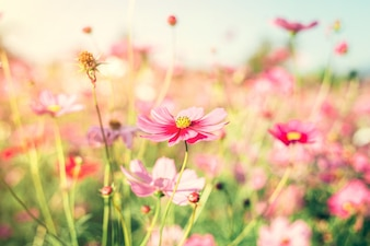 Field pink cosmos flower with vintage toned.