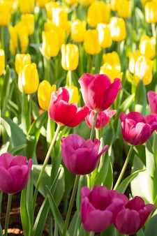 Field of pink and yellow tulips in spring day. colorful tulips flowers in spring blooming blossom garden.