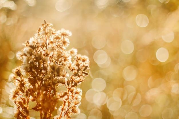 Полевое растение в лучах заката, осенний фон с пылающим боке.
