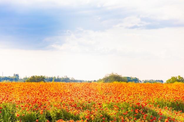 Field of poppy flowers blooming in spring, czech republic