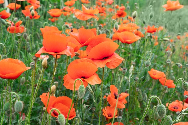 Field of poppy red flowers with green grass, natural background