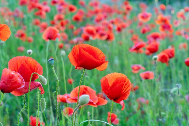 Field of poppy red flowers with green grass