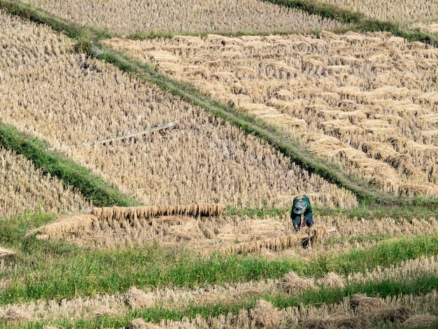Field rice and farmer are harvesting rice , mae hong son, northern thailand