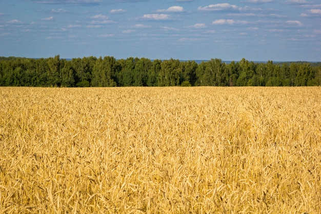 Field of ripe wheat with golden spikelets and strip of forest on horizon line