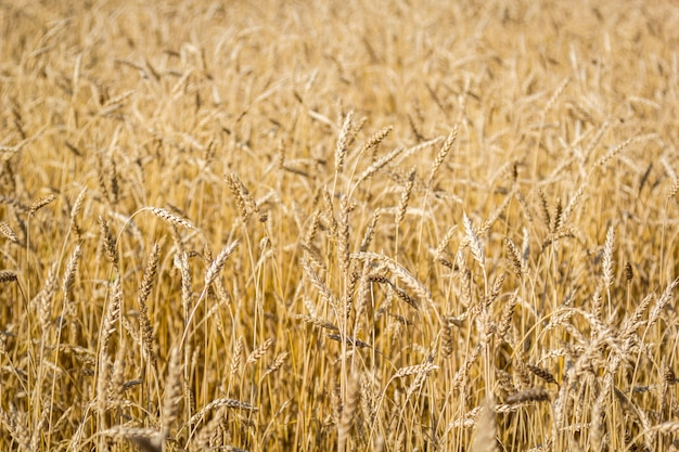 Field of ripe wheat with golden spikelets