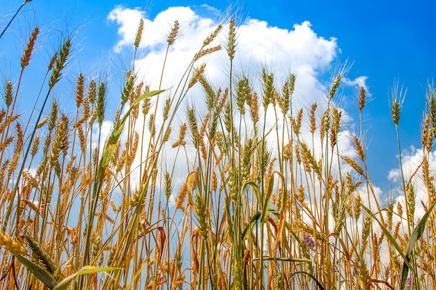 Field of ripened golden wheat harvest against a blue cloudy sky