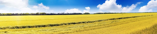 Field of rye and sunny day with cloudy sky. panorama