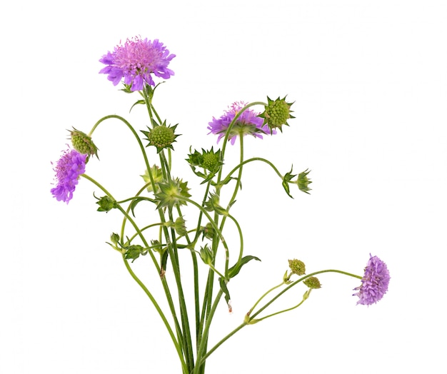 Field scabious flower isolated